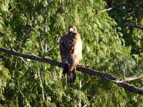 Halfmoon Bay, Canada: Bird of Prey (juvenile bald eagle?)