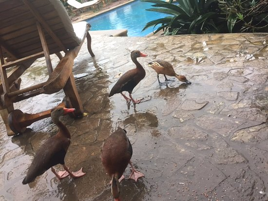 Mansion de Chocolate : ducks by the pool