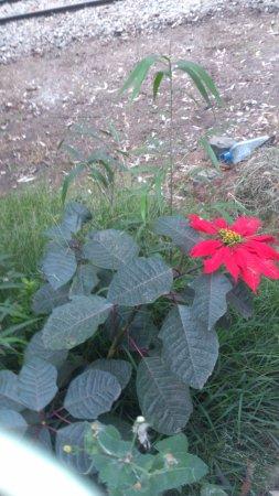 Victoria Park of Nuwara Eliya: First time see the poinsettia flower in Sri Lanka
