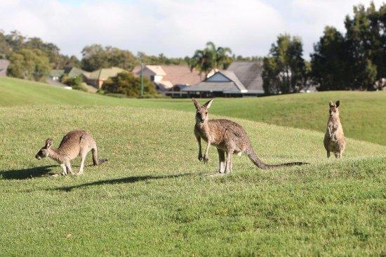 Port Stephens, أستراليا: Resident kangaroos 