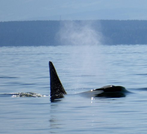 Campbell River, Canadá: Orca