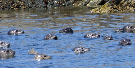 Campbell River, Canada : Seal herd