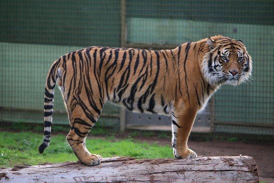 Dubbo, Austrália: Sumatran tiger