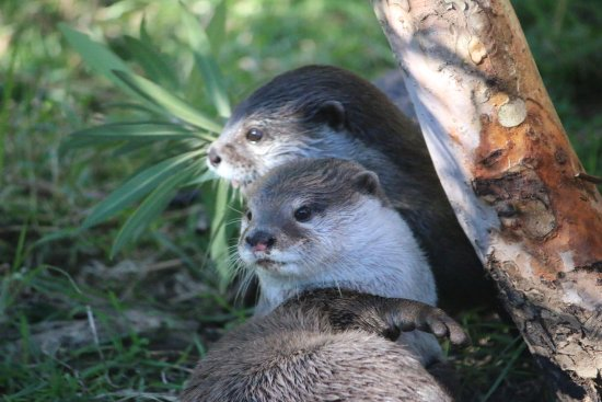 Dubbo, Австралия: Oriental Small-Clawed Otter
