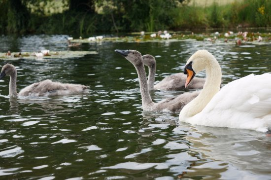 Spetchley Park Gardens: Swans and cygnets