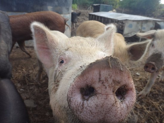 Longueville House Hotel: There is a working farm on the property. Lots of piggies!