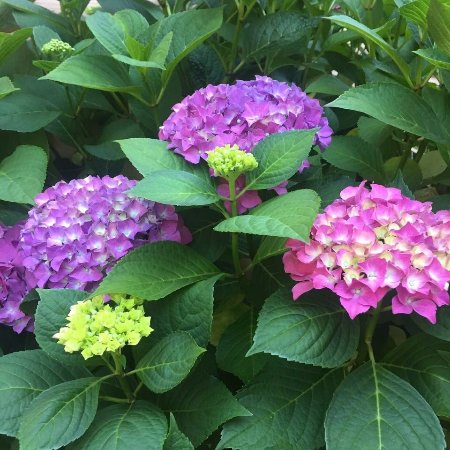 Idleyld Park, ออริกอน: Lush Hydrangeas on the grounds