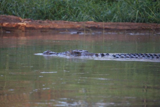 Sukau, Malasia: Croc on morning prowl