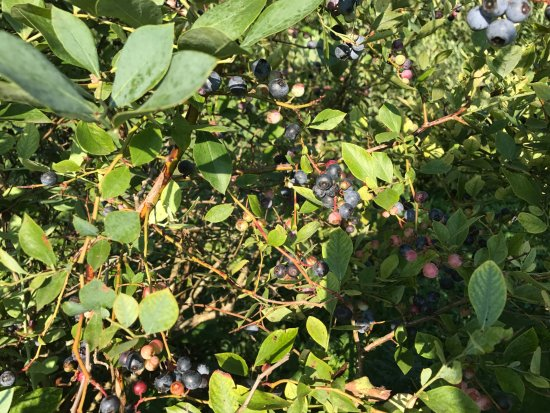 Portland, TN: Most of these blueberries no longer are there. We picked and ate them LOL