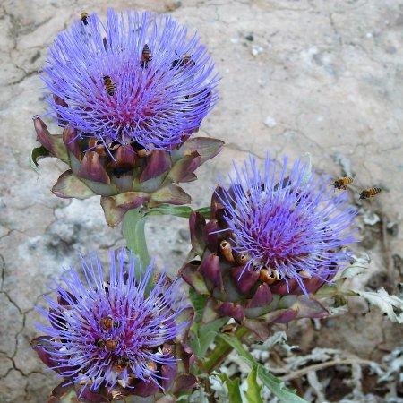 Queen Creek, AZ: Fresh artichokes!