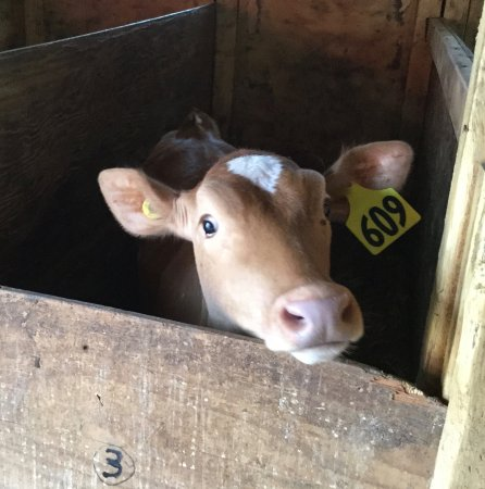 Agassiz, Canada: A calf wanting our attention.