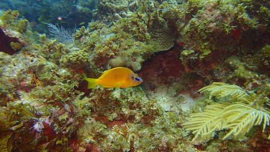 Corn Islands, Nicaragua: Hamlet Fish - Lilly Reef