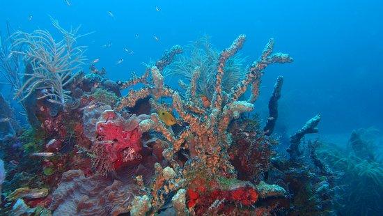 Corn Islands, نيكاراجوا: Corals & Sponges - David Reef