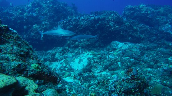 Corn Islands, Nicaragua: Caribbean Reef Sharks - Blowing Rock