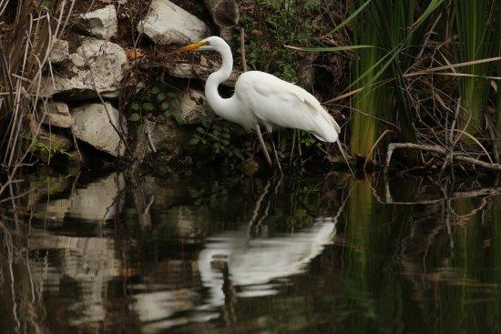 Great Egret at the El Dorado Nature Center.