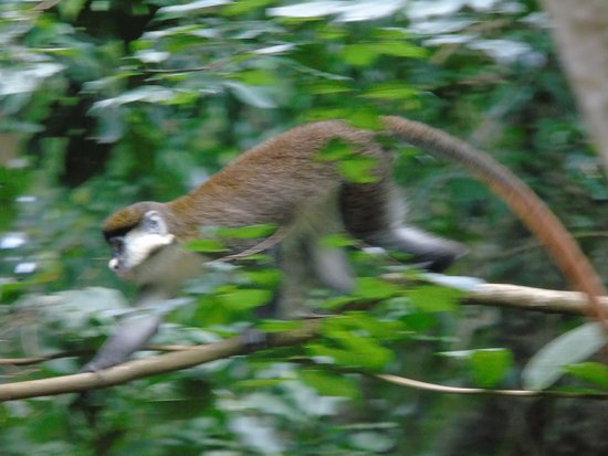 Besides plenty of birdlife are the red tailed colobus regular sightings at the RainForest Lodge