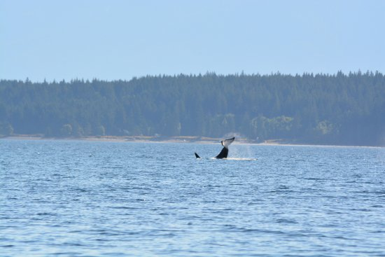 Campbell River, Canada : Orca tail slap