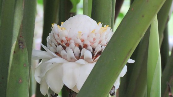 Petit-Bourg, Гваделупа: rose de porcelaine blanche