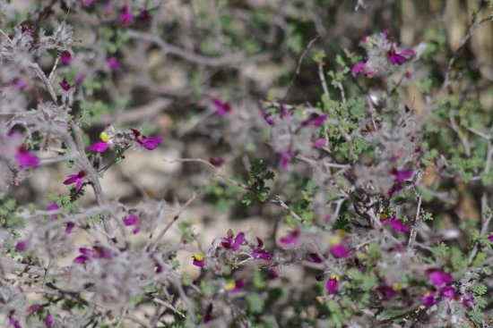 Small Purple Flowers On A Thorny Shrub Picture Of Pine Springs