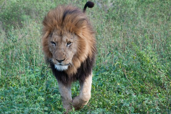 Marloth Park, South Africa: Close encounter with a lion