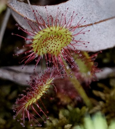 Tiverton, Canadá: Sundew zoomed in