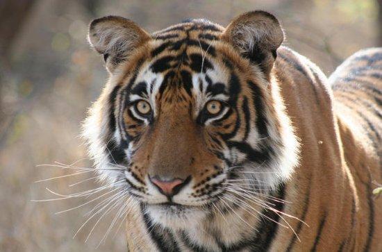 Viagem Privada a Ranthambhore Tiger...