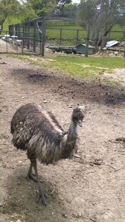 ‪‪Block Island‬, ‪Rhode Island‬: Friendly emu. (Bopping around.)‬
