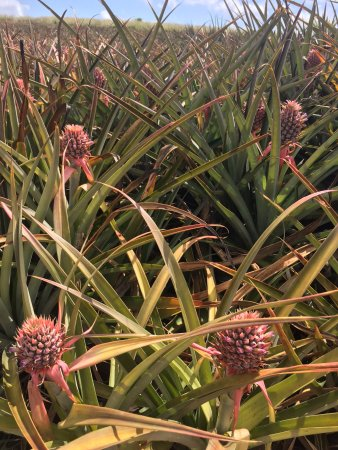 Makawao, HI: pineapples in the fields