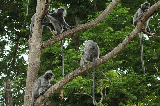 Combo de Silver Leaf Monkeys y...