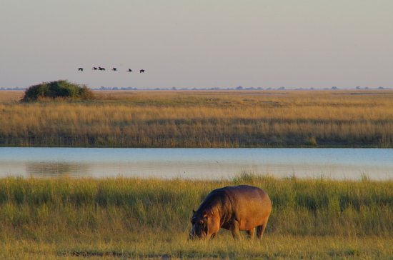 andBeyond Chobe Under Canvas: hippo at the chobe river during morning safari