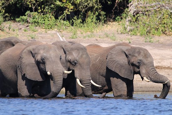 andBeyond Chobe Under Canvas: elephants during photographic river safari