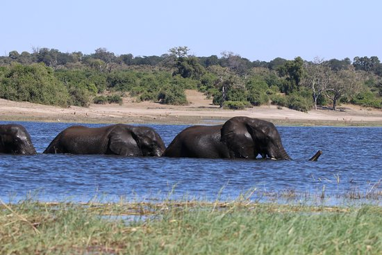 andBeyond Chobe Under Canvas: elephants crossing chobe river during photographic river safari