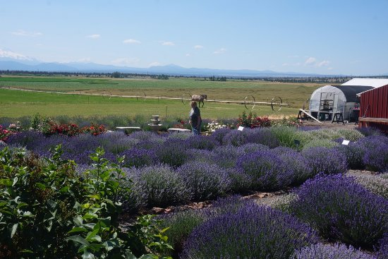 Madras, Oregón: Some of the different kinds of Lavender.