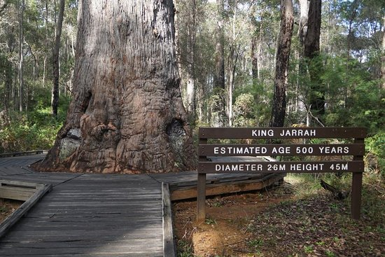 King Jarrah Tree