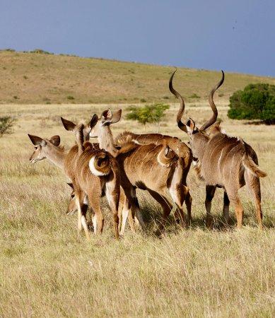 Kudu at Kwetu