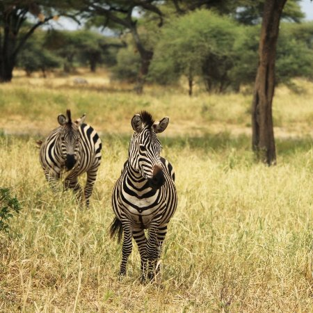 Tarangire National Park, Tanzania: Zebras in the lovely Tarangire landscape