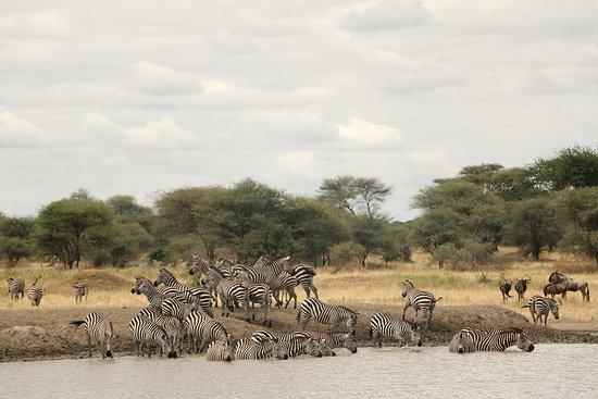 Tarangire National Park, Tanzania: Thirsty zebras