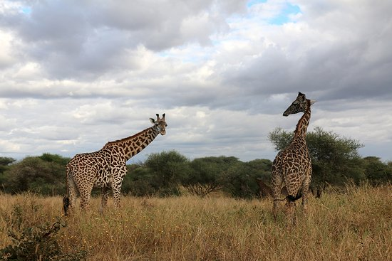 Tarangire National Park, Tansania: Beautiful giraffes