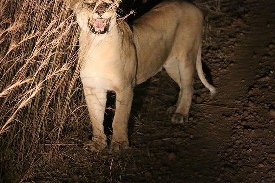 Arusha Region, แทนซาเนีย: Confronted by a lioness in the night