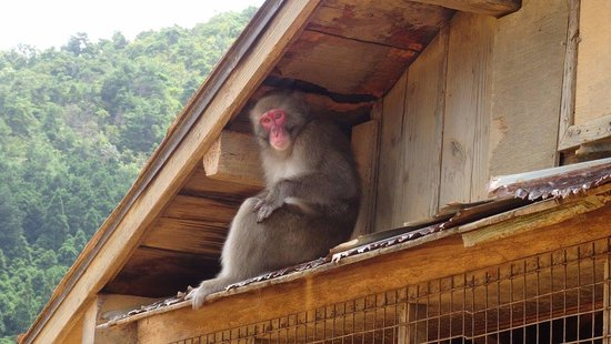 Monkey Park Iwatayama: One of the locals