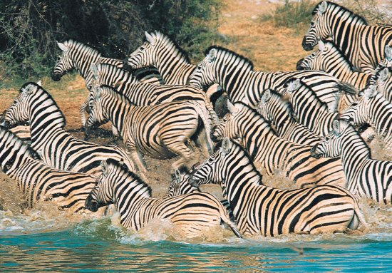 "Umhlanga Rocks, Afrika Selatan: ""The painted horse"" - Burchell's Zebra"