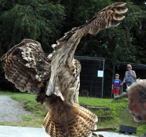 Ballymote, İrlanda: An owl coming in to land as part of the show