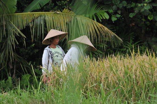 Kerobokan, Indonesia: Dans les rizières