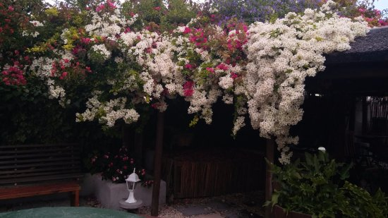 Thyme at Rosemary's Restaurant: White cascading bouganvilla in the beautiful garden courtyard where lunch is served.