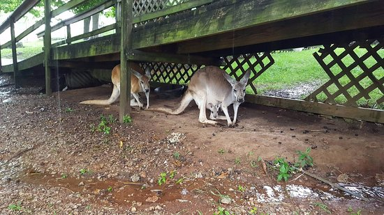 Horse Cave, Кентукки: Kangaroos hiding from the rain.