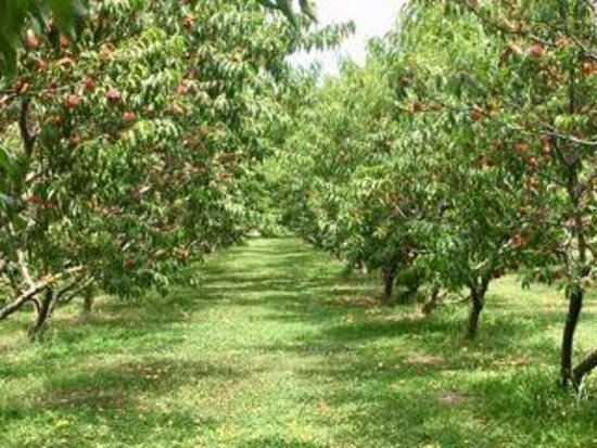 Chesapeake, VA: Mount Pleasant Farms Peach Trees