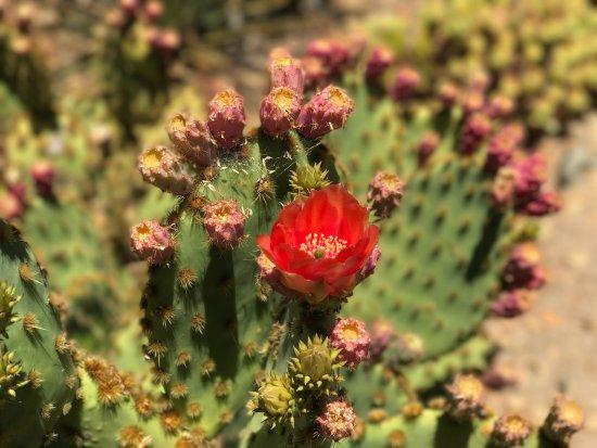 Palo Alto, CA: Cactus in bloom