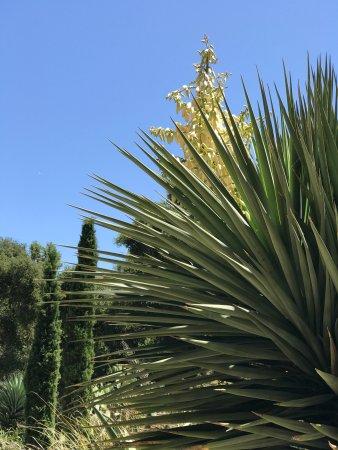 Palo Alto, CA: Huge cactus
