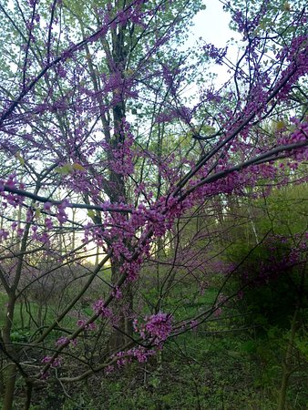 Ada, MI: Beautiful spring flowering tree