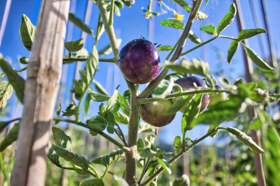 Montelparo, إيطاليا: Le varietà singolari dei nostri pomodori